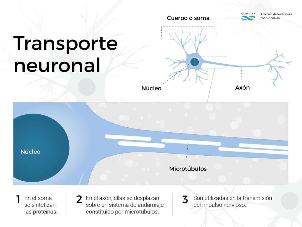 Conicet transporte neuronal